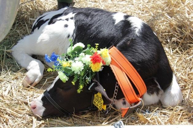 Молочный фестиваль возрождает традиции